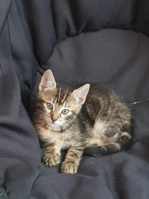 biscotte ,femelle 2 mois